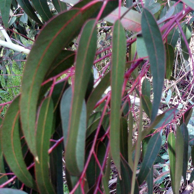 huile essentielle eucalyptus camaldulensis bio dehn oil luxaromes. Black Bedroom Furniture Sets. Home Design Ideas